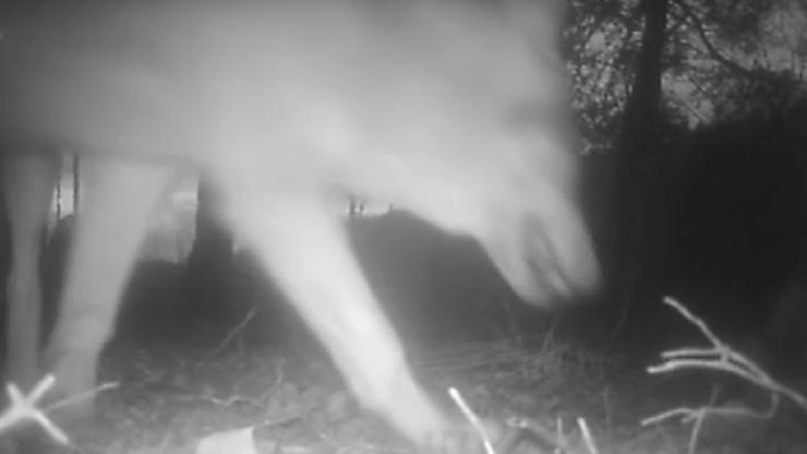 """Wilki wykradły kamerę. Jeden z nich """"sfilmował"""" las, a później samego siebie"""